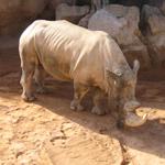 Rómulo el rinoceronte blanco