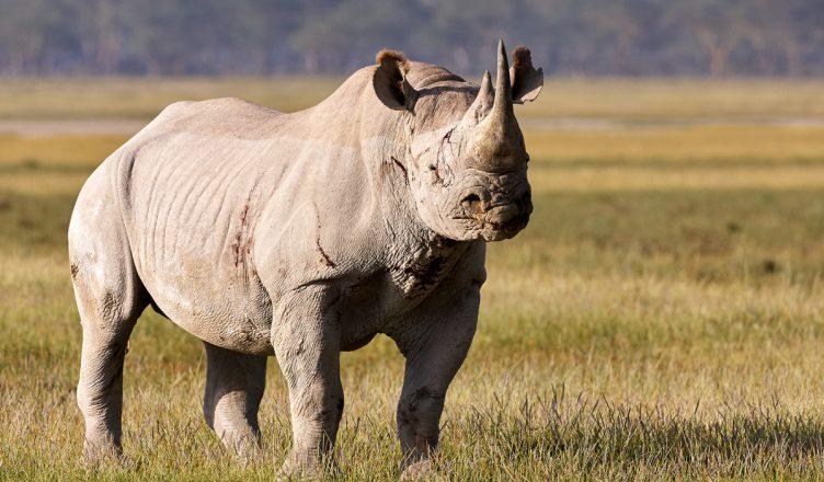 Romulo-el-rinoceronte-blanco